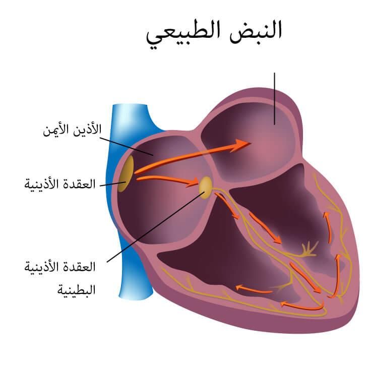 كيف يعمل القلب -الطبيعي