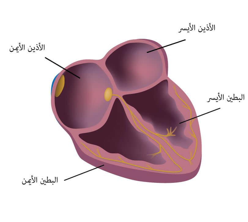 كيف يعمل القلب -القلب