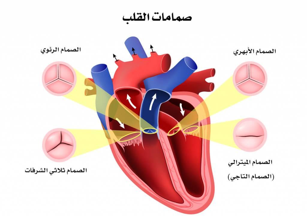 كيف يعمل القلب -القلب-1024x724