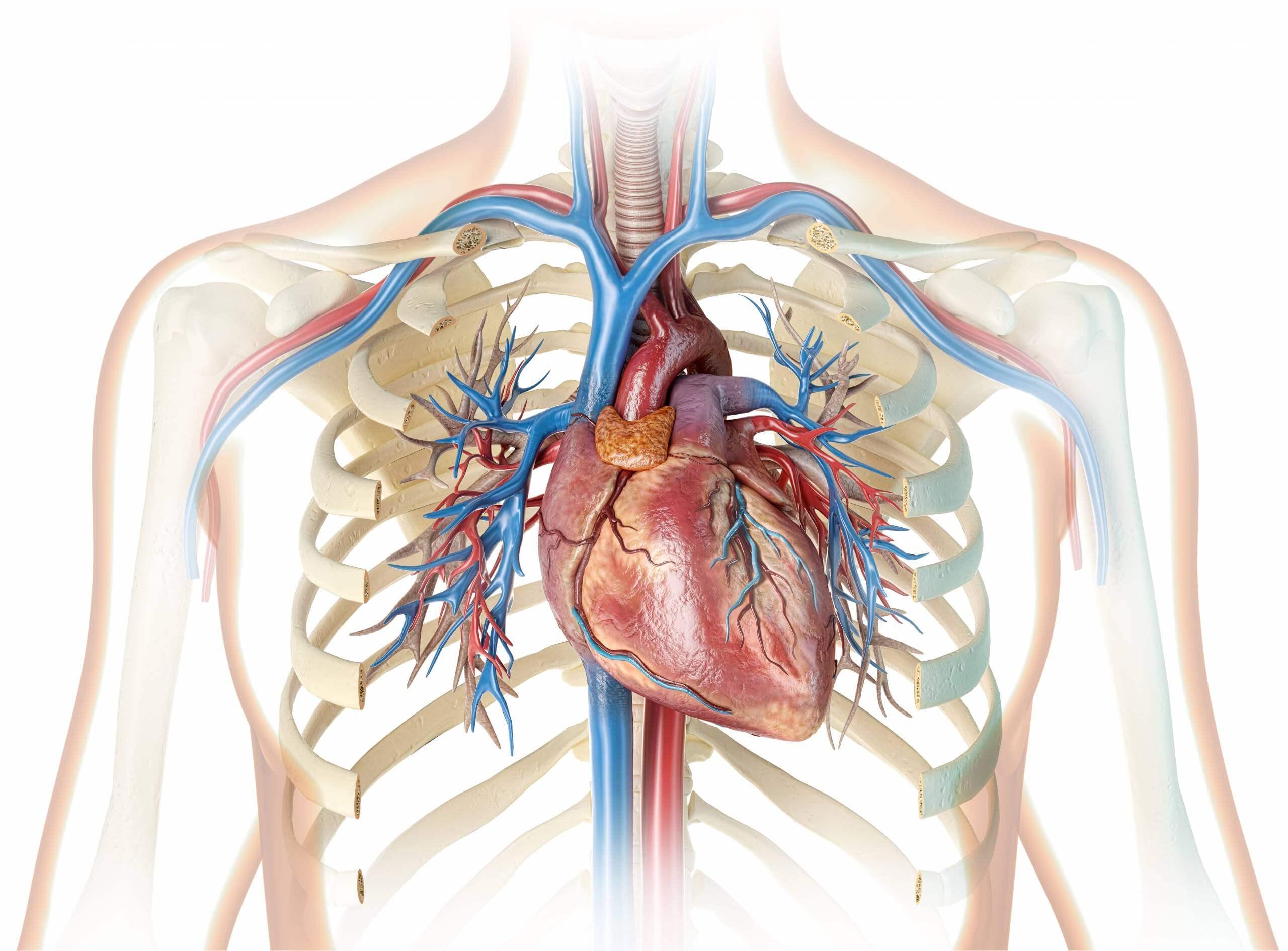 ما هي أجزاء القلب وأين يقع بن سينا مقالات طبية موثوقة