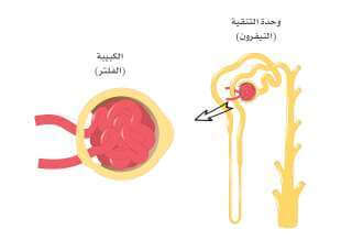 ما هي الكلى؟ وما أجزائها؟ nephrons-and-glomerulus-e1623010069898